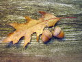 Oak acorns and leaf Royalty Free Stock Photo