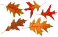 Oak autumn leaves Stock Photos