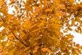 oak autumn, yellow oak leaves Royalty Free Stock Photo