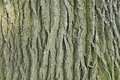 Oak bark Royalty Free Stock Images