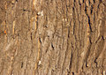 Oak bark Royalty Free Stock Photo