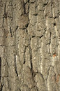 Oak bark background Stock Image