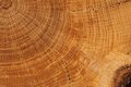 Oak board with growth rings close up Royalty Free Stock Photo