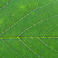 Oak green leaf close up background from Royalty Free Stock Photo