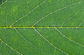 Oak green leaf close up macro view of Royalty Free Stock Photography
