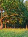 Oak grove Stock Images