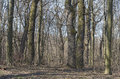Oak hornbeam forest in early spring pedunculate quercus robur common carpinus betulus holosiyivsky wood kiev ukraine Royalty Free Stock Photography