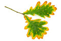 Oak leaf in autumn close up of lush foliage on white background Stock Images