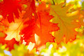 Oak leaf colorful in the autumn Stock Photos