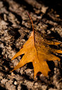 Oak leaf at first light a golden with drops of early morning dew rests on a old log Stock Image