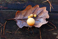 Oak leaf with galls Stock Photo