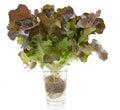 Oak leaf lettuce isolated Royalty Free Stock Photo