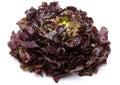 Oak leaf lettuce Royalty Free Stock Photo