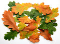 Oak leafs Stock Image