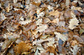 Oak leafs death on the forest ground soil in autumn season Stock Photography