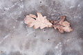 Oak leafs in winter frozen in a puddle Stock Images