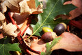 Oak Leaves and Acorns Stock Photography