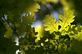 Oak leaves in back light Stock Images