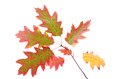 Oak leaves on a branch isolated white background Royalty Free Stock Photo