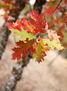 Oak Leaves in Fall Royalty Free Stock Photo