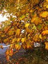 Oak leaves in fall before they off collors Royalty Free Stock Photography