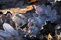 Oak leaves in the frost close up fallen covered with early morning sunlight Royalty Free Stock Photos