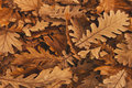 Autumn oak leaves brown Royalty Free Stock Photo
