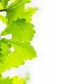 Oak leaves on white background Stock Photos