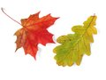 Oak and maple leaves Royalty Free Stock Image