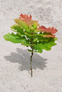 Oak sapling Royalty Free Stock Images