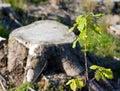 Oak sapling against a cut stump Royalty Free Stock Photo