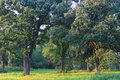 Oak Savanna of Illinois Royalty Free Stock Photo