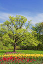 Oak in spring park and flowerbed with tulips Royalty Free Stock Photo