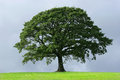 Dub strom
