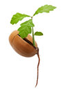 Oak tree from acorn with root isolated on a white background Stock Image
