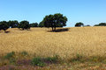 Oak tree alentejo portugal at Stock Photos