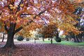Oak tree in automn a park at daytime Royalty Free Stock Photography