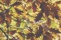 Oak tree. Autumn. Fall scene. Beauty nature scene trees and leav