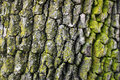 Oak tree bark Royalty Free Stock Photo