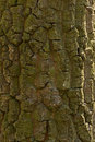 Oak tree bark old sidelight Royalty Free Stock Photos