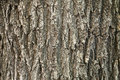 Oak tree bark texture of an trunk with vertical patterns Stock Image
