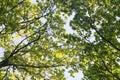 Oak tree branches Royalty Free Stock Photo