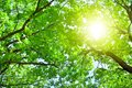 Oak tree branches with green leaves on blue sky and bright sun light background, summer sunny day nature landscape Royalty Free Stock Photo