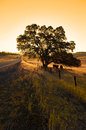 Oak Tree and Cattle Royalty Free Stock Photo
