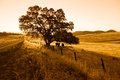 Oak tree and cattle morning silhouette of highway Royalty Free Stock Photo