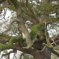 Oak tree covered in moss, Gloucestershire, England
