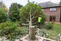 Oak tree cut down in a garden Royalty Free Stock Photo