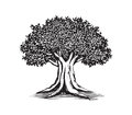 Oak Tree Drawing Vector Logo Design Illustration