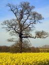 Oak tree in early Spring - England Royalty Free Stock Photo
