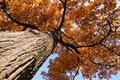 Oak tree in the fall Royalty Free Stock Photo